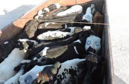 کشف ۳۳ راس گاو قاچاق از ۲ دستگاه کامیون در بستک