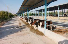 با ورود ۵۰۰ راس گاو اتریشی «سمینتال» ، فعالیت مجتمع گاو شیری دهنگ رسما آغاز شد