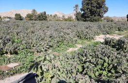 خسارت سرمازدگی به محصولات کشاورزی در بستک
