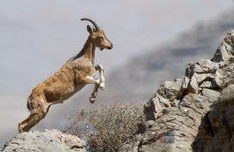 رهاسازی یک راس کل وحشی در طبیعت شهرستان بستک